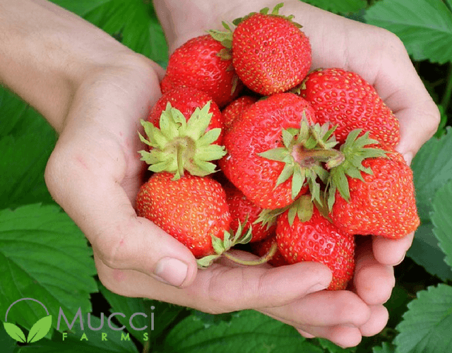 Mucci Farms' Smuccies™ Sweet Strawberries
