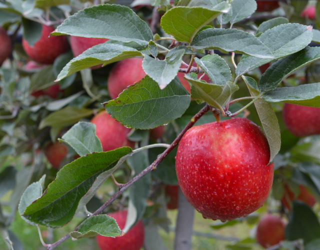 JUICI™ Apples from Starr Ranch®