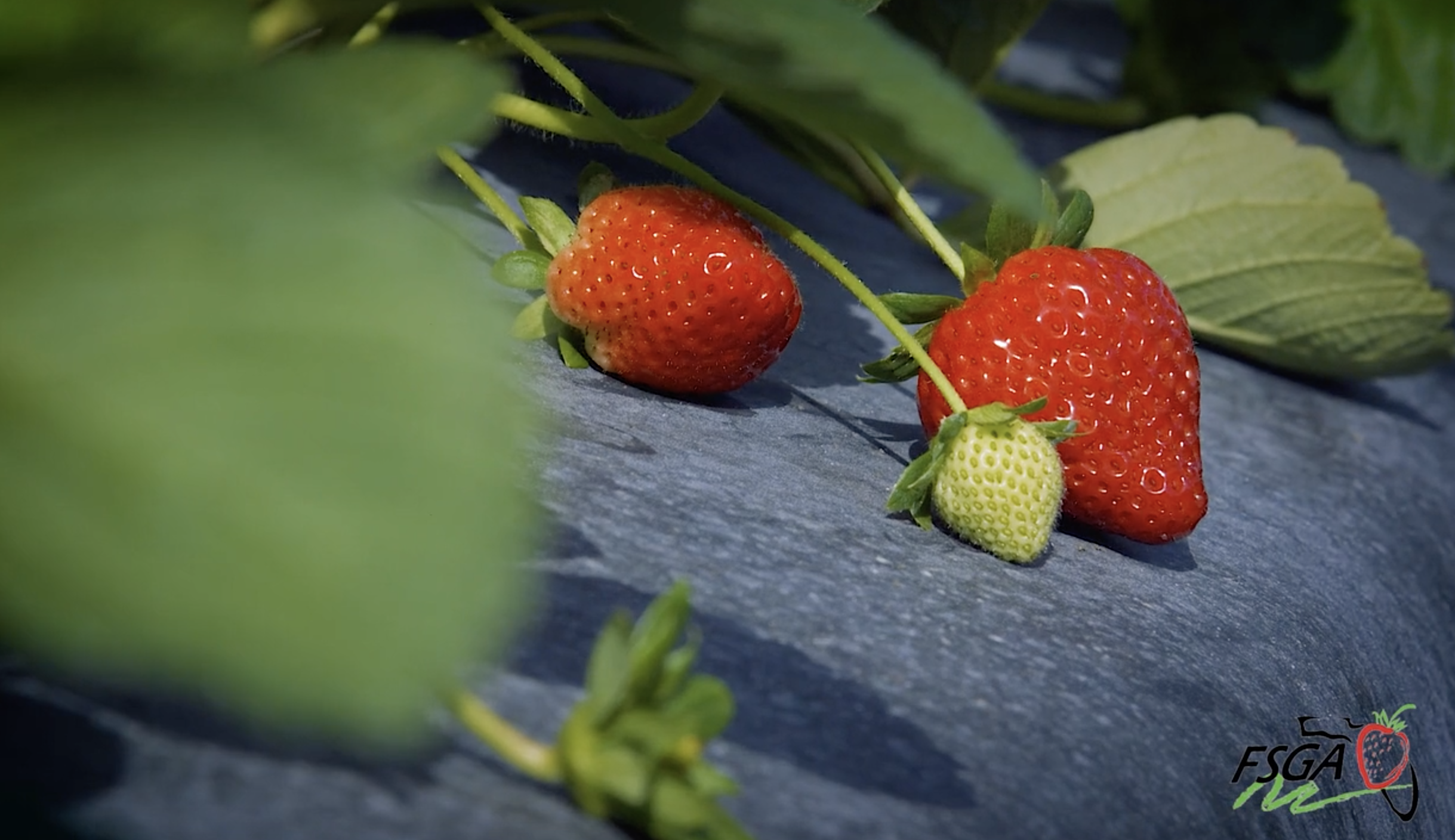 FSGA Behind-the-Scenes: Strawberry Varieties