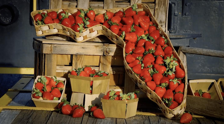 FSGA: Florida Strawberry Varieties